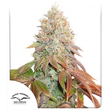 AUTO BANANA BLAZE – DUTCH PASSION