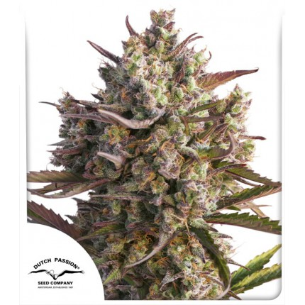 AUTO BLUEBERRY – DUTCH PASSION