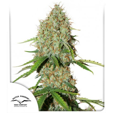 AUTO BROOKLYN SUNRISE – DUTCH PASSION