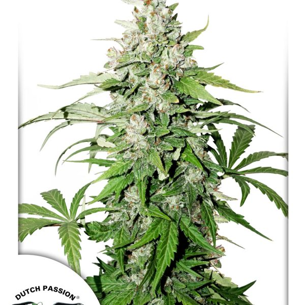 AUTO CINDERELLA JACK – DUTCH PASSION