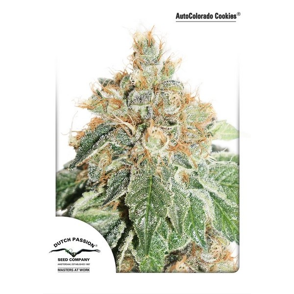 AUTO COLORADO COOKIES – DUTCH PASSION