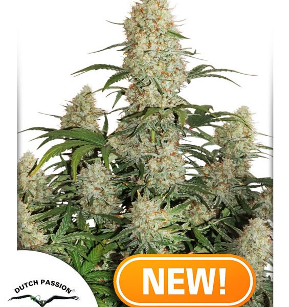 AUTO CRITICAL ORANGE PUNCH – DUTCH PASSION