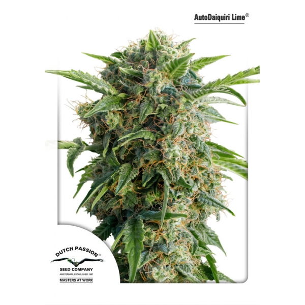 AUTO DAIQUIRI LIME – DUTCH PASSION