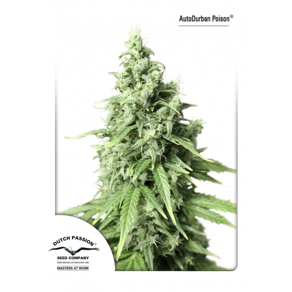 AUTO DURBAN POISON – DUTCH PASSION
