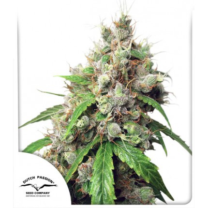 AUTO EUFORIA – DUTCH PASSION