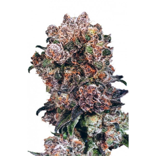 BLUEBERRY – DUTCH PASSION