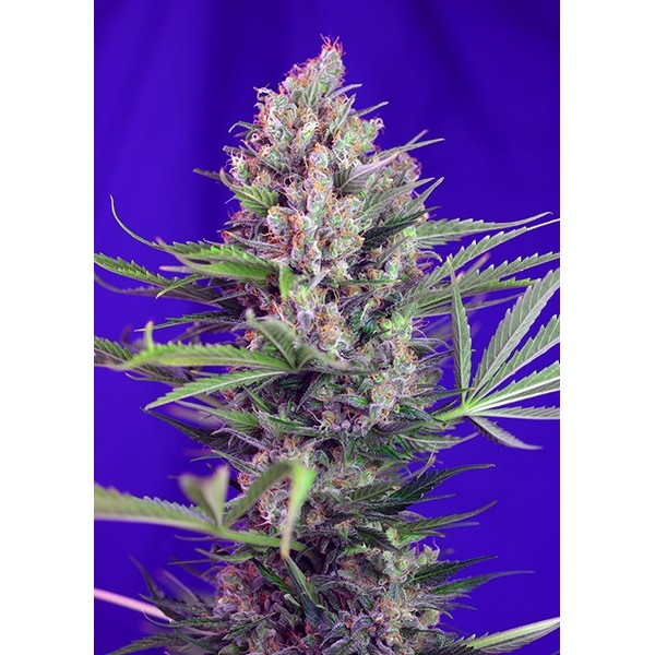 CREAM MANDARINE F1 FAST VERSION – SWEET SEEDS