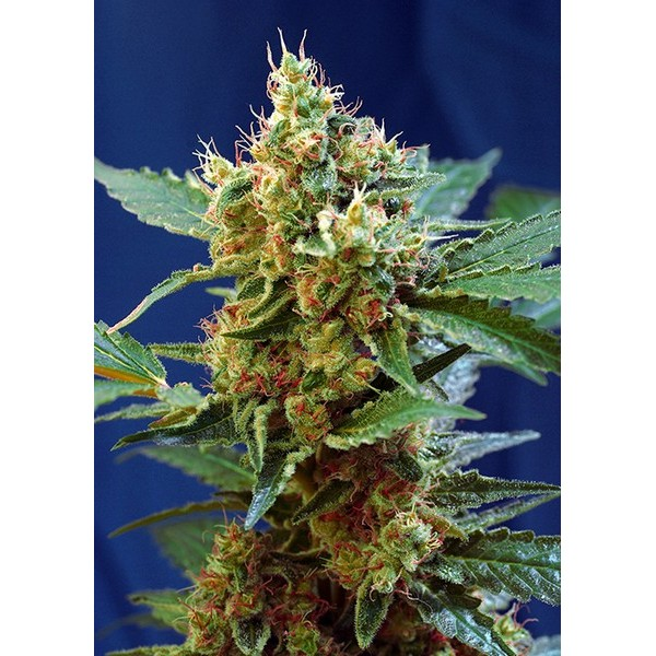 CREAM MANDARINE XL AUTO – SWEET SEEDS