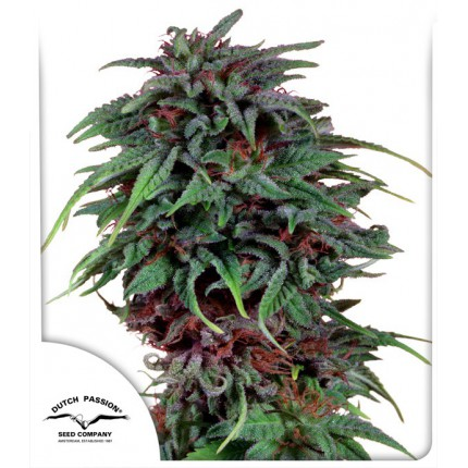 DURBAN POISON – DUTCH PASSION
