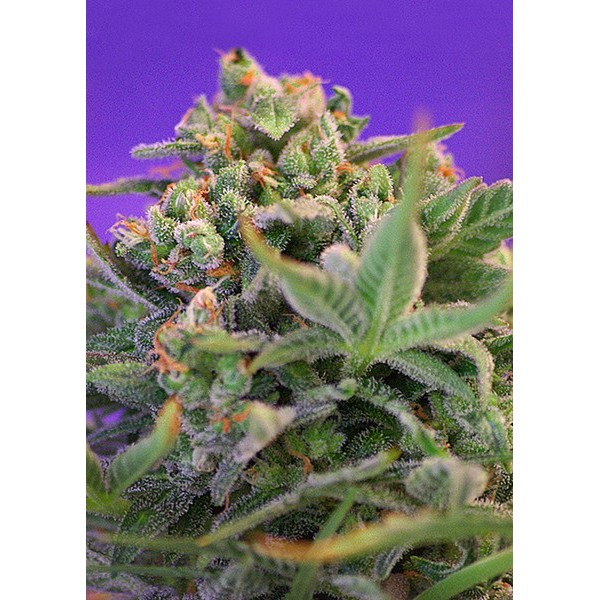 SWEET CHEESE F1 FAST VERSION – SWEET SEEDS