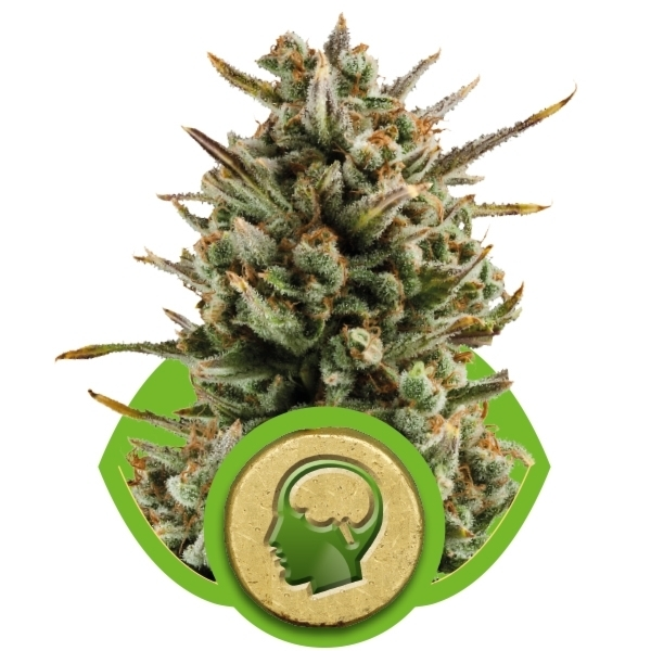 AMNESIA HAZE AUTOMATIC – ROYAL QUEEN