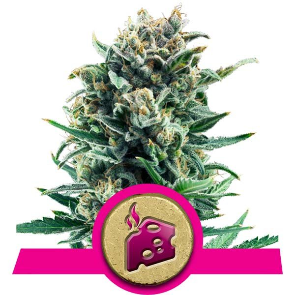 BLUE CHEESE – ROYAL QUEEN