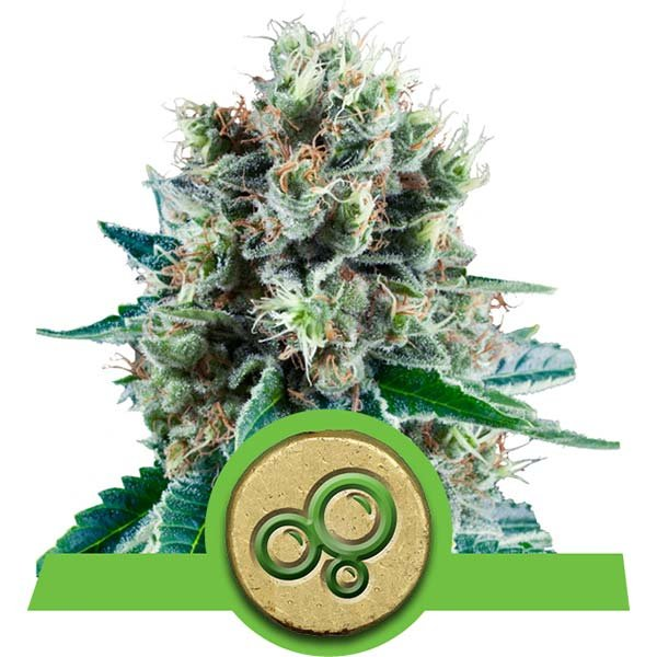 BUBBLE KUSH AUTOMATIC – ROYAL QUEEN