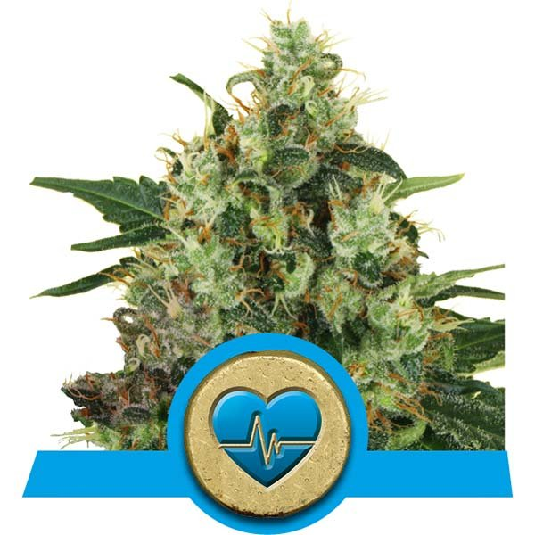 MEDICAL MASS – ROYAL QUEEN