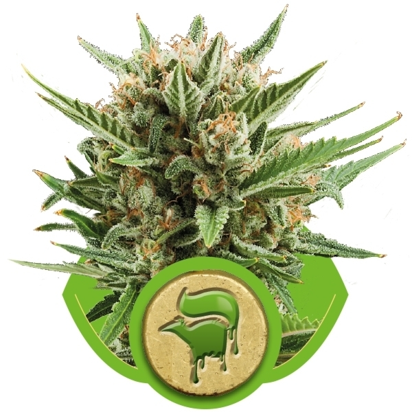 SWEET SKUNK AUTOMATIC – ROYAL QUEEN