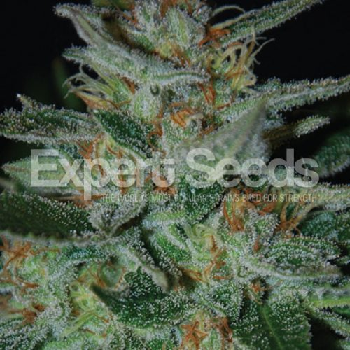 Blue Cheese - Expert Seeds