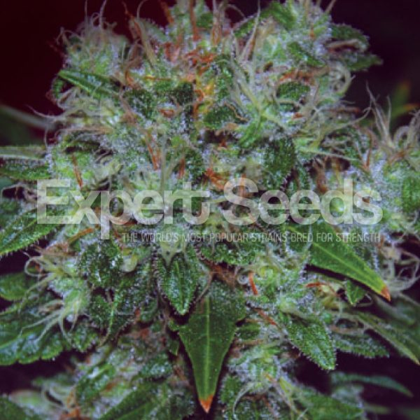Blue Cheese Auto - Expert Seeds