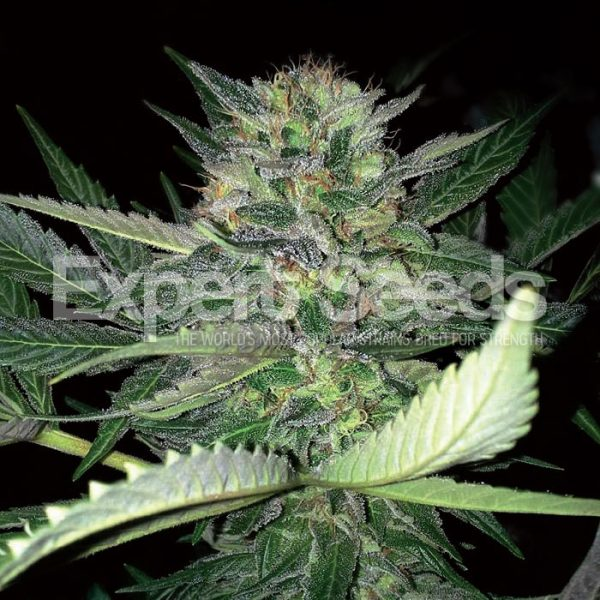 Critical Lights - Expert Seeds