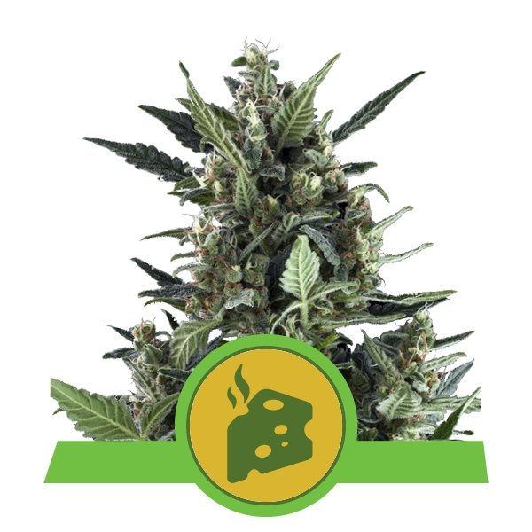 Blue Cheese Automatic – Royal Queen