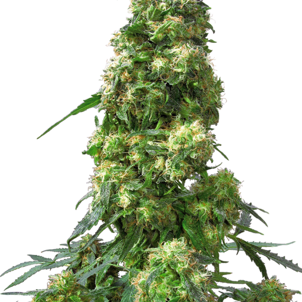 EARLY SKUNK – SENSI SEEDS