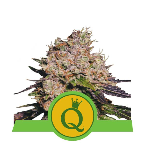 Purple Queen Automatic – Royal Queen