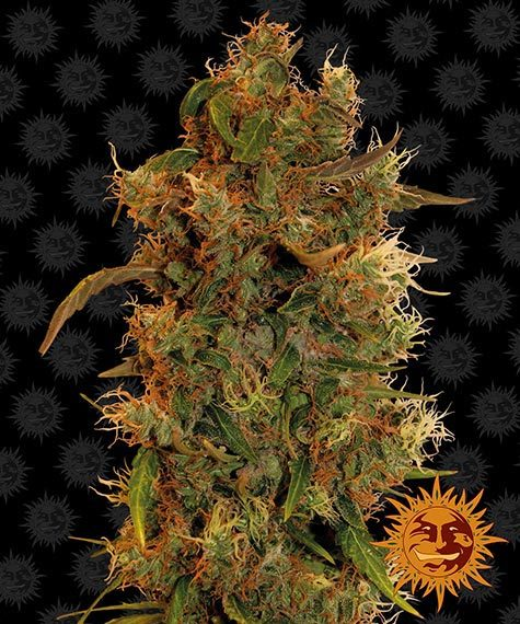 8 Ball Kush - Barney´s Farm