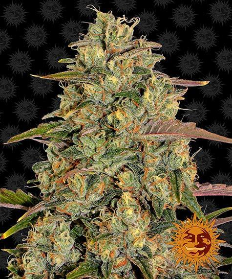 Amnesia Lemon - Barney´s Farm