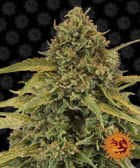 Bad Azz Kush - Barney´s Farm