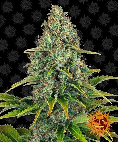 Blueberry Cheese Auto - Barney´s Farm