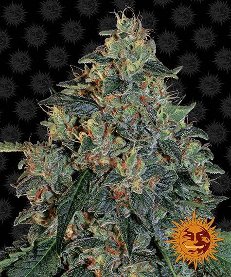 Blueberry OG - Barney´s Farm