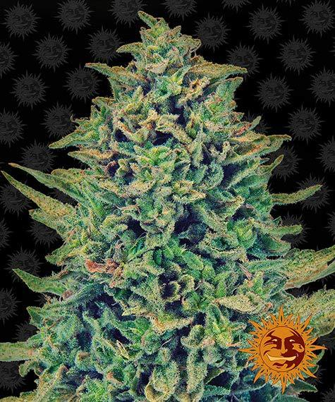 CBD Blue Shark - Barney´s Farm