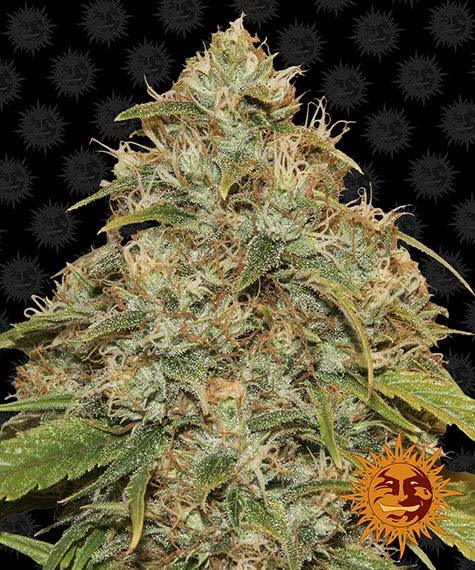 CBD Lemon Potion Auto - Barney´s Farm